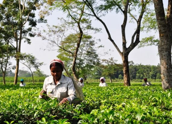 A farmer harvests tea in her farm as one of the small business ideas in Assam